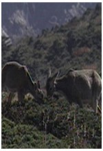Roe Deers Of Mount Halla