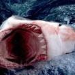Katil Köpekbalığı Resimleri