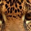 En Vahşi Avcılar: Jaguarın İzinde Resimleri